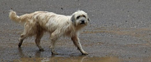 shaggy-stray-dog